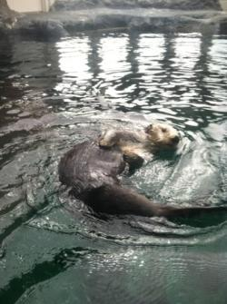 Seattle Waterfront Aquarium sea otters