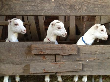 Stepladder Creamery Goats