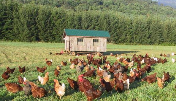 Hens in Hall Pasture.jpg