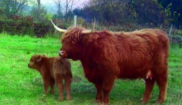 scottish_highland_mom_baby.tif