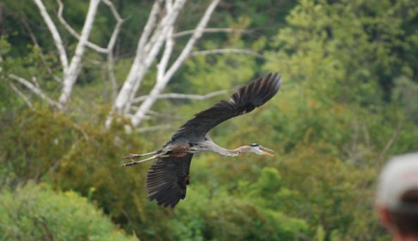 Great Blue on Rondout Creek - FNC Kayak Tour - Photo Credit - Julie Noble.jpg