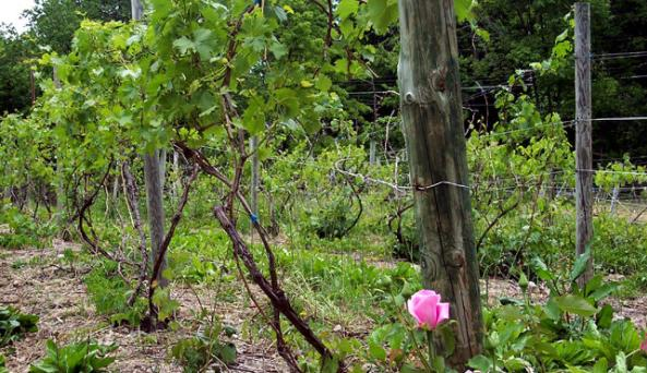 rose%20in%20vineyard.jpg
