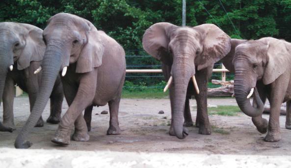 African Elephants at Seneca Park Zoo (photo credit Lindsay Brinda)