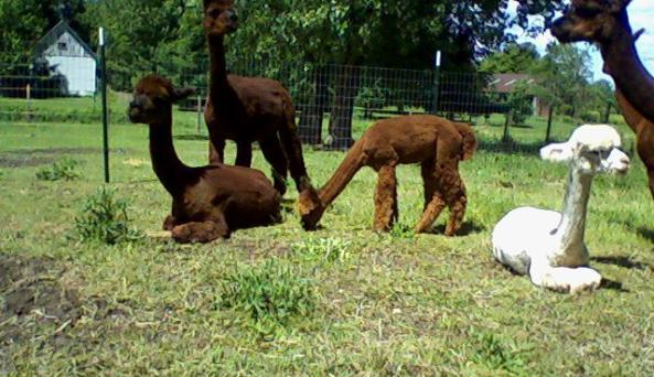 Alpaca Delights