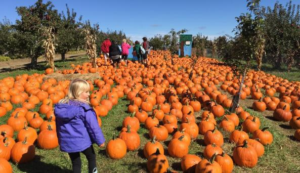 Pumpkin Picking at Apple Ridge Orchards