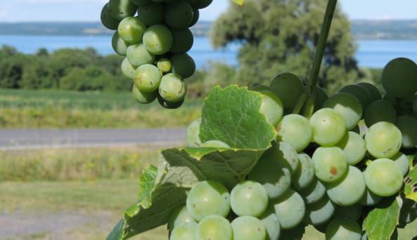 Vineyard overlooking Cayuga Lake
