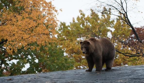 Grizzly & Brown Bear in Fall by Julie Larsen Maher ©WCS