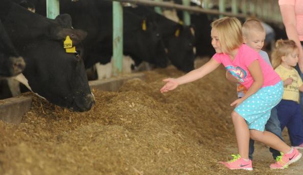 lamb farms cow
