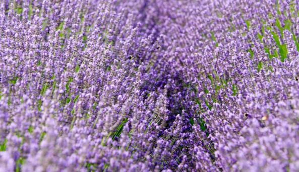 Lavender by the Bay - Photo by Jen Rozenbaum