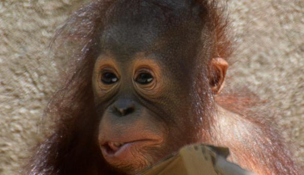Baby Bornean Orangutan, Bella at Seneca Park Zoo (photo credit Marie Kraus)