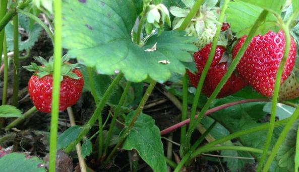 Thompson-Finch Farm strawberry plant