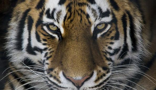 Amur Tiger at Seneca Park Zoo (photo credit Kelley Parker)