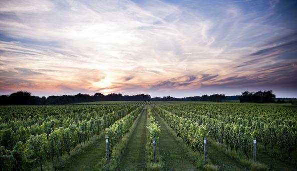 Bedell Cellars vineyard at dusk