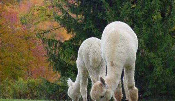 Autumn Hill Alpacas