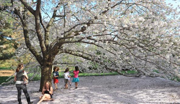 Cherry Blossom tree at the New York Botanical Garden