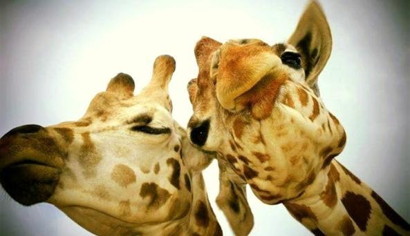 Giraffe Package