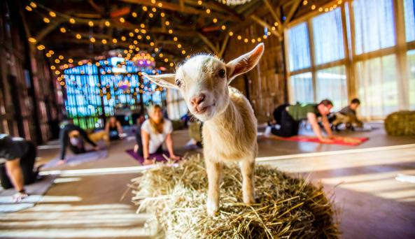 Goat on bale, yoga in background