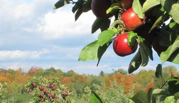 Apple Trees at Goold Orchards