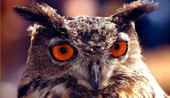 Beaver Lake Owl