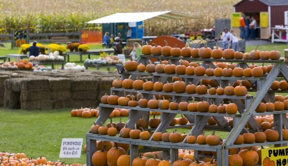 pick-n-patch-stanley-pumpkins