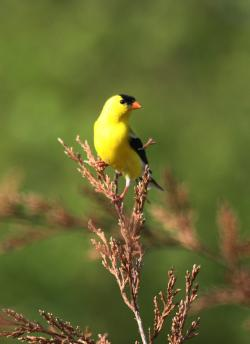 Kansas Kritters- American Goldfinch