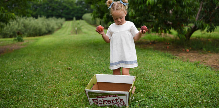 Picking at Eckert's Boyd Orchards