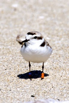 Plover Courtesy of Siuslaw National Forest Service