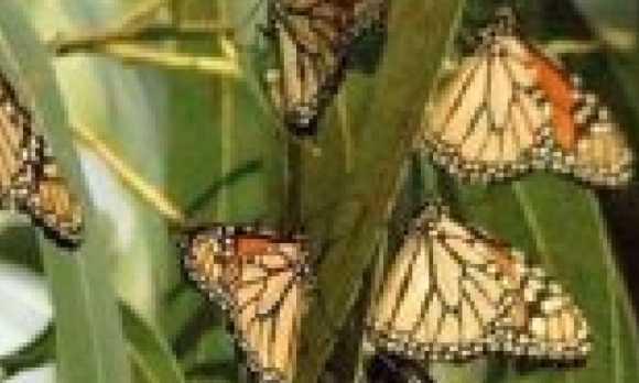 Monarch_Butterflies_thumb-1.jpg