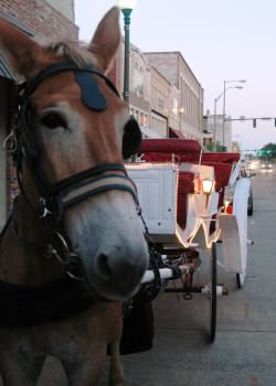 Happy Mule on Carriage Ride