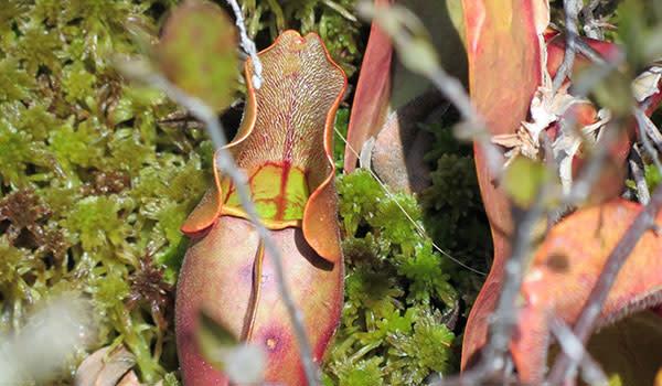 Michael Nichols Pinhook Bog Plants