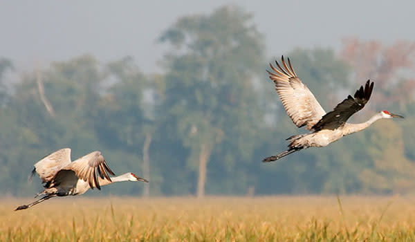 Sandhill Cranes flying in Northwest Indiana