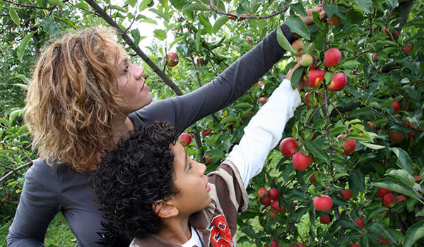 County Line Orchard apple picking