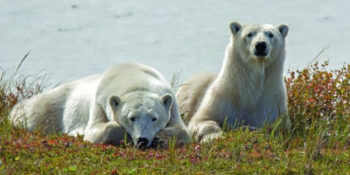Two polar bears lying on grassy tundra, looking at the camera