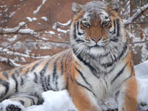 Tiger in Winter at the Seneca Park Zoo in Rochester, NY