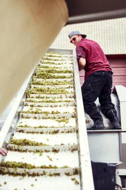 Grape crushing at Infinite Monkey Theorem winery in Denver