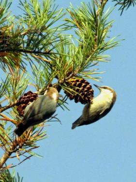 Bird and Pinecone