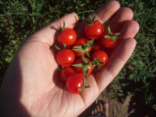 """""""One of my many favorites - sweet cherry tomatoes!"""""""