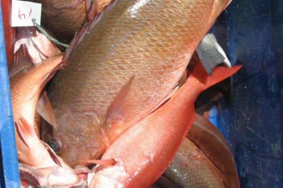 Groupers and Vermillion Snapper