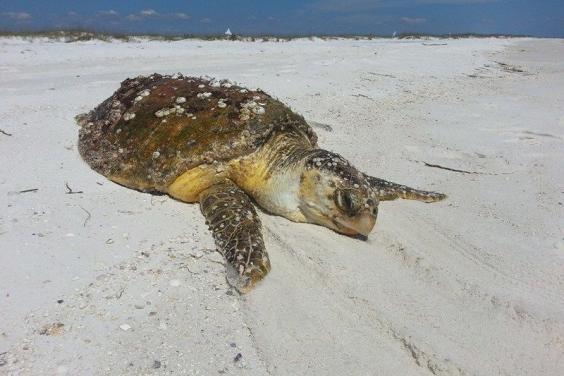 Sea Turtle on Shell Island
