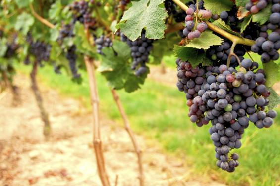 Napa & Sonoma Vineyards
