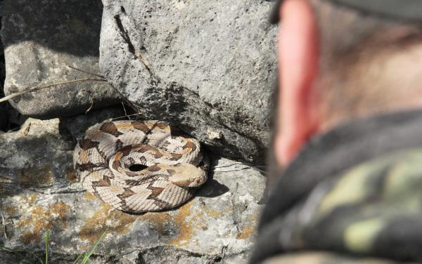 Kansas Timber Rattle Snake