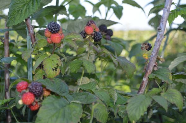 Black raspberries at Huber's