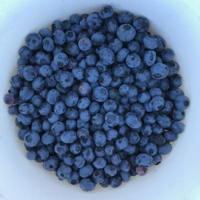White bowl full of fresh-picked blueberries