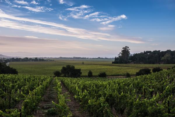 Napa Valley vineyard vista in summer