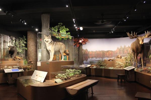 Harvard Museum of Natural History wolf