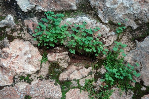Shamrocks and moss on top of rocks