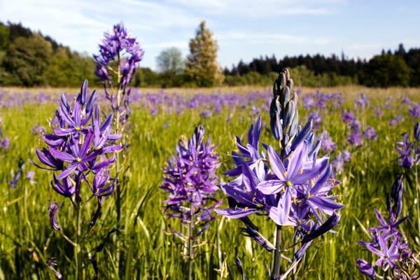 Camas Wildflowers