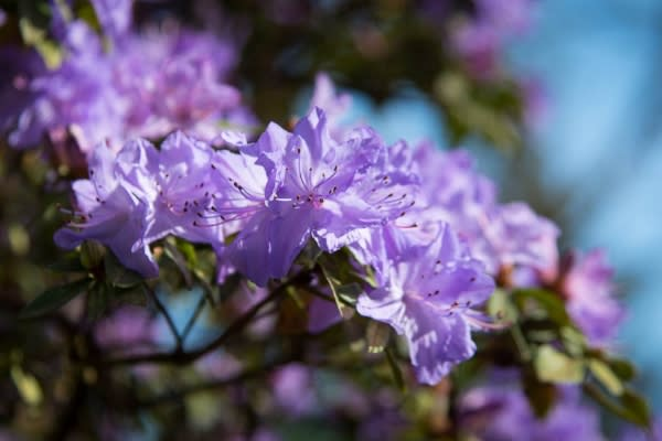 Rhododendrons at Hendricks Park by Colin Morton