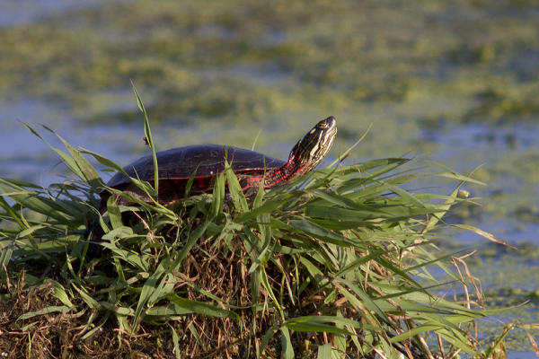 Eagle Marsh turtle