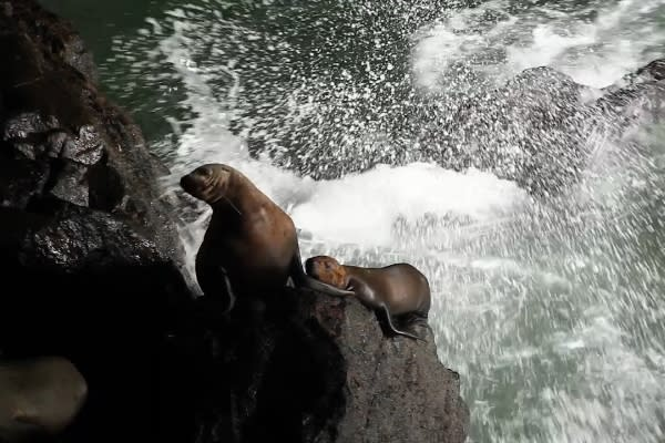 Sea Lions at the Sea Lion Cave in Florence